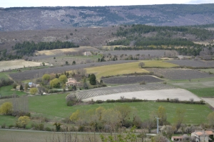 The lavender fields near Sault